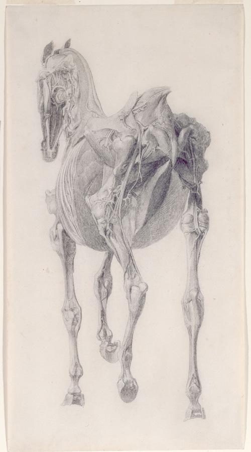 George Stubbs, Studie voor De Vijftiende Anatomische Tabel voor de Spieren van het Paard
