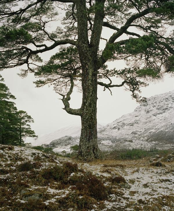 BOREALIS Schotland, februari 2017 - Boreal tree # 25 © Jeroen Toirkens - Courtesy Kahmann Gallery